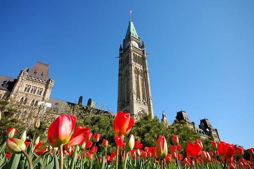 hoa tulip duoc trong tai cac vuon doc loi di o thu do ottawa