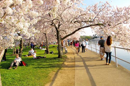Sắc hồng Anh Đào rợp bóng bờ hồ Tidal Basil - Washington DC