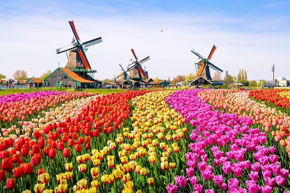 Cối xay gió và cánh đồng hoa tulip