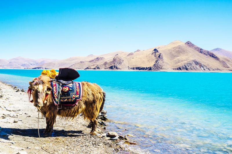 Giống Bò Tây Tạng này rất hiền lành và thân thiện