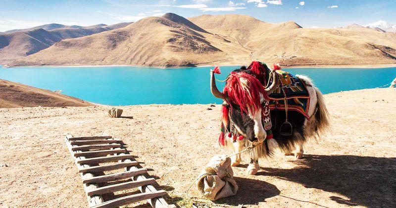 Vẻ đẹp của loài bò hoang Tây Tạng,gọi theo tiếng Tạng là Drong