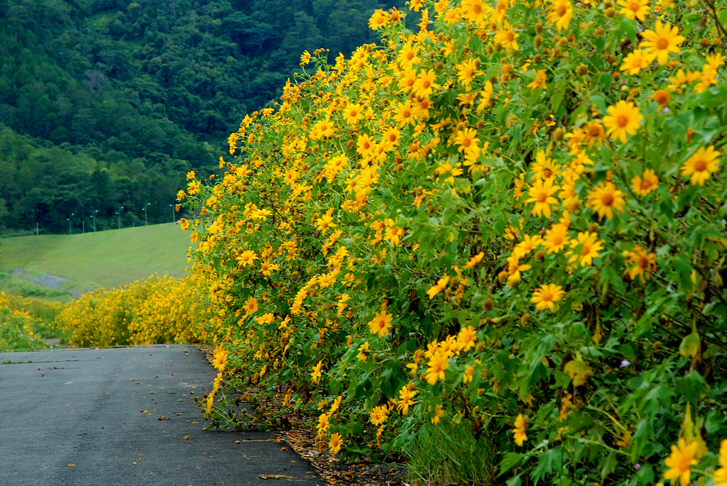 Du lịch Đà Lạt từ tháng 9 đến tháng 11 là mùa hoa dã quỳ nở rộ