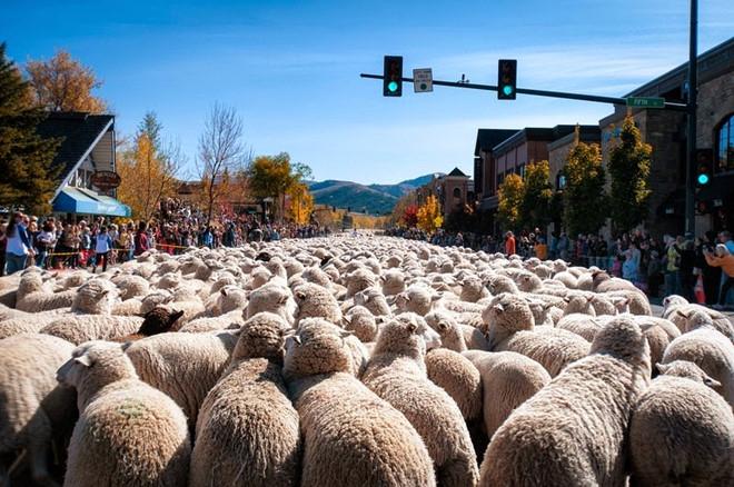 Du lịch Mỹ -Lễ hội diễu hành của những chú cừu