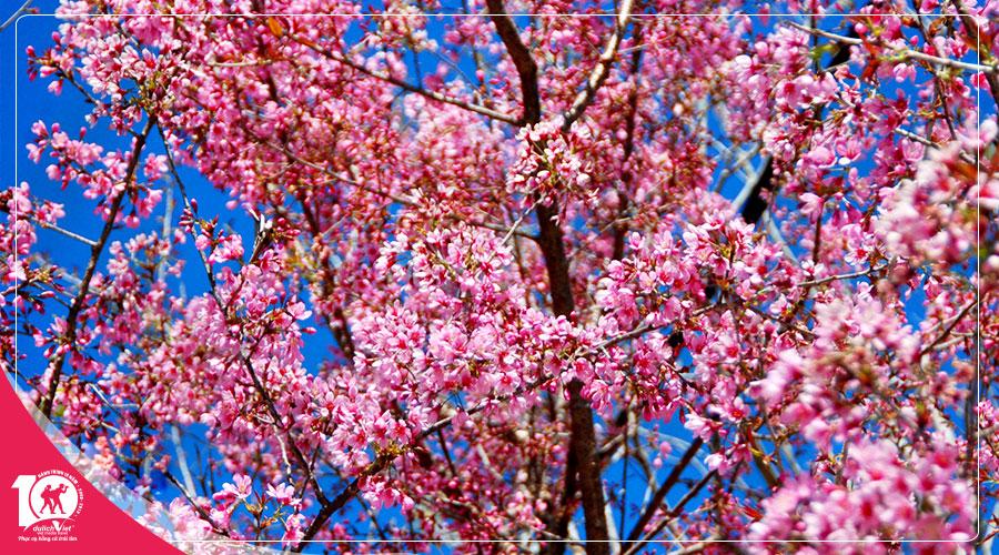 Du lịch Đà Lạt 3 ngày 2 đêm mùa hoa Mai Anh Đào khởi hành từ Sài Gòn