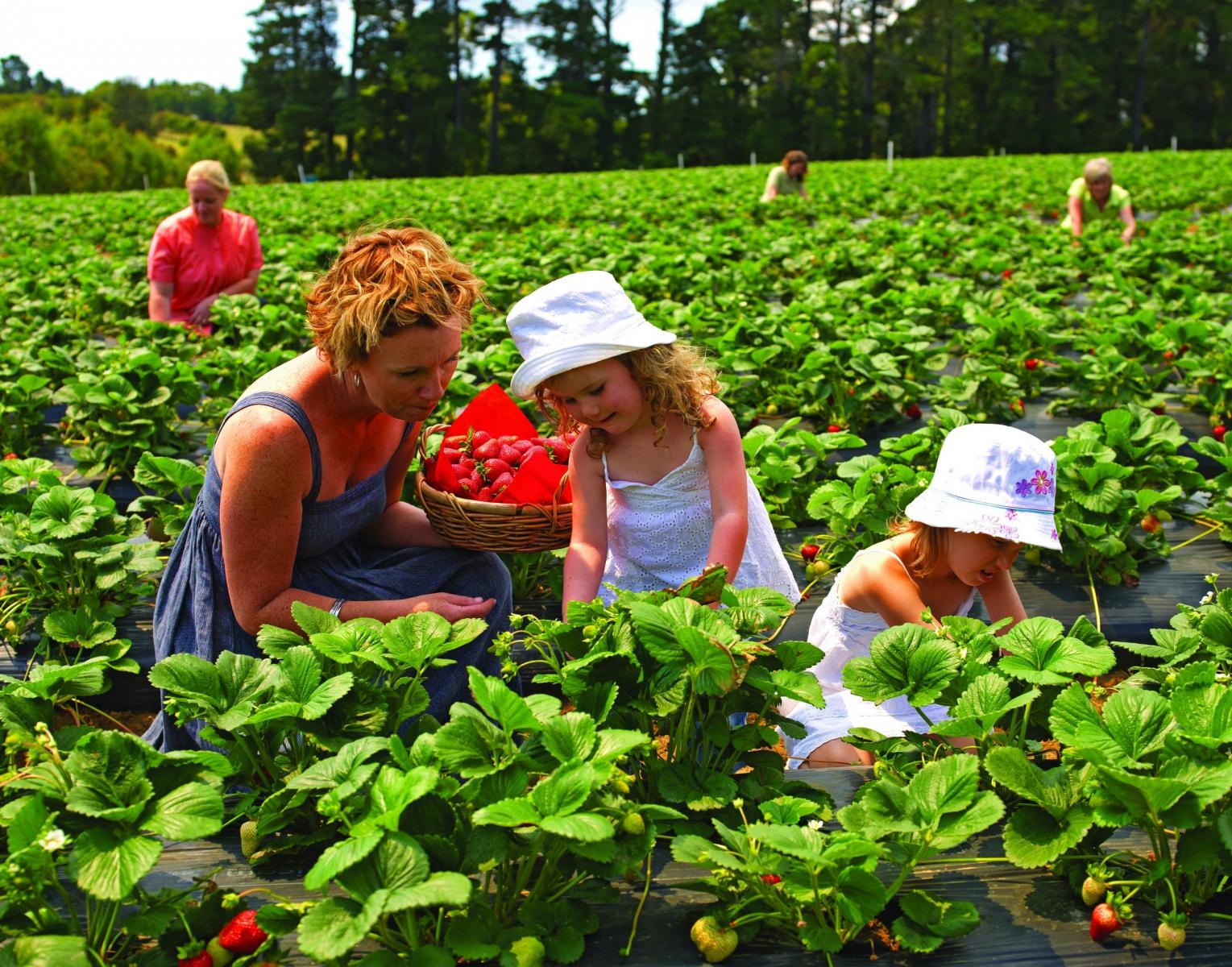 Du lịch Úc mùa Xuân khám phá vườn trái cây Bacchus Marsh