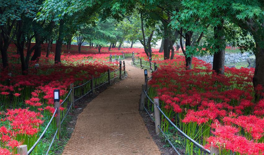 Ngắm hoa Bỉ Ngạn tại thành phố Sagamigawa