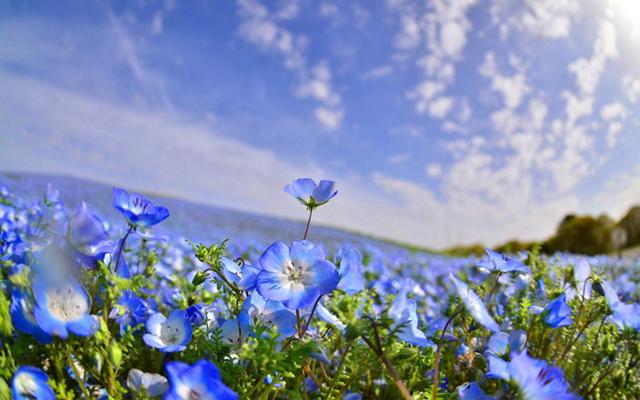 Choáng ngợp trước vẻ đẹp của cánh đồng hoa xanh Hitashi Nhật Bản