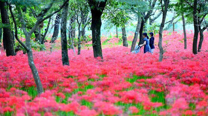 Thiên đường hoa Bỉ Ngạn tại Kinchakuda