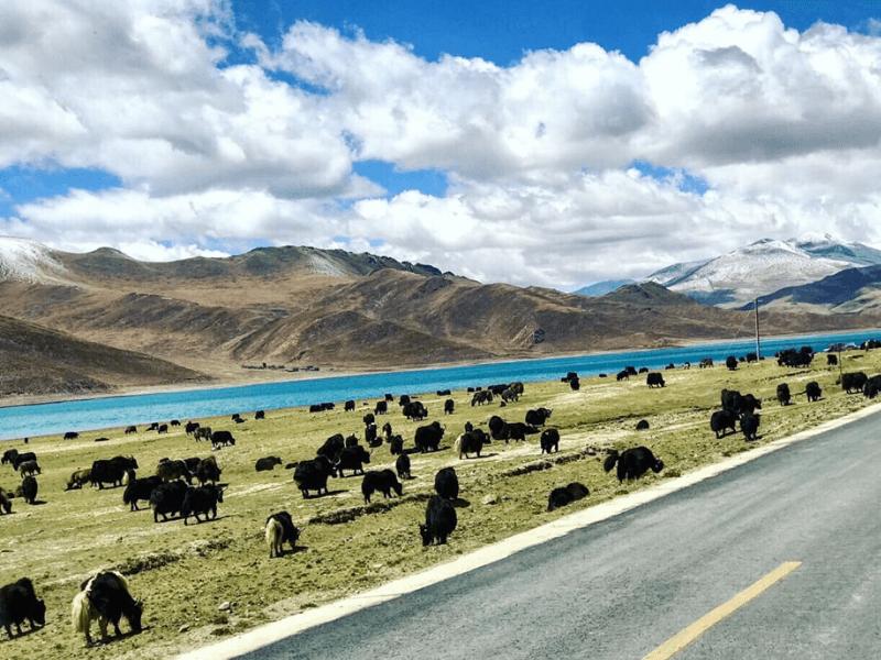Đàn bò Yak Tây Tạng
