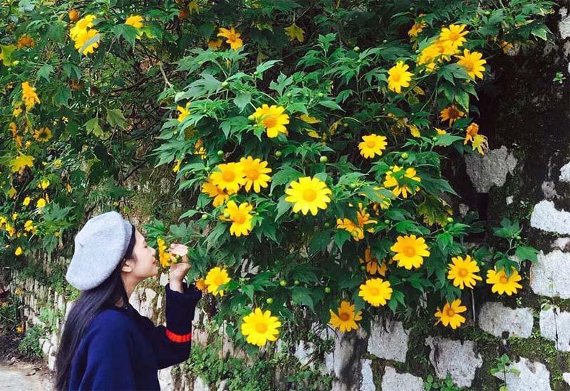 Vẻ đẹp những bông hoa dã quỳ Đà Lạt giữa trong lòng Đà Lạt