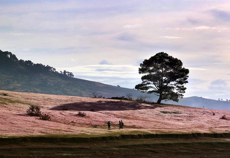 Hoa cỏ hồng ở Thung Lũng Vàng và Cây Thông cô đơn
