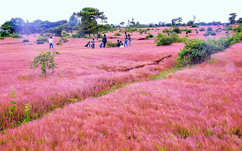 Rực rỡ sắc màu đồi cỏ hồng làm xôn xao biết bao tâm hồn