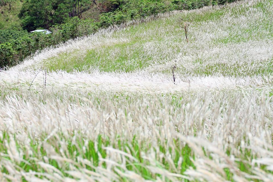 Khung cảnh đồi cỏ tranh vào mùa trổ bông trắng cả một vùng