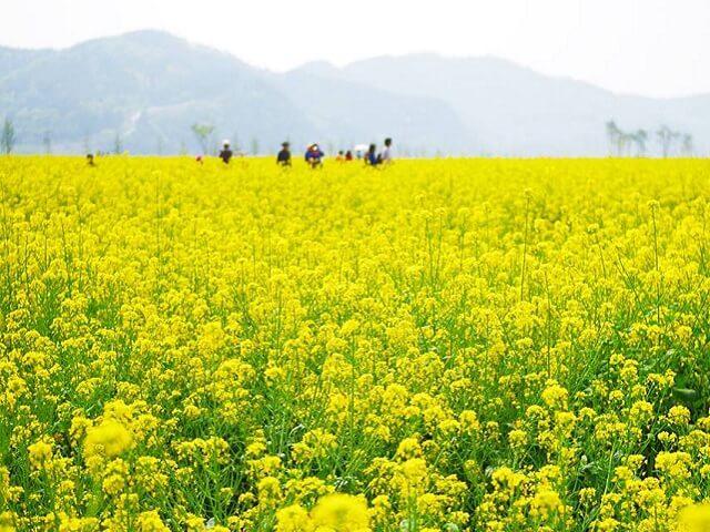 Du lịch Hàn Quốc tham gia lễ hội hoa Cải