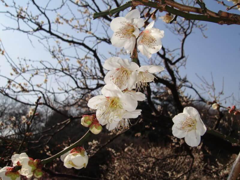 Du lịch Nhật Bản ngắm hoa mơ