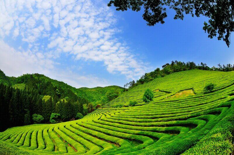 Du lịch Hàn Quốc - Boseong