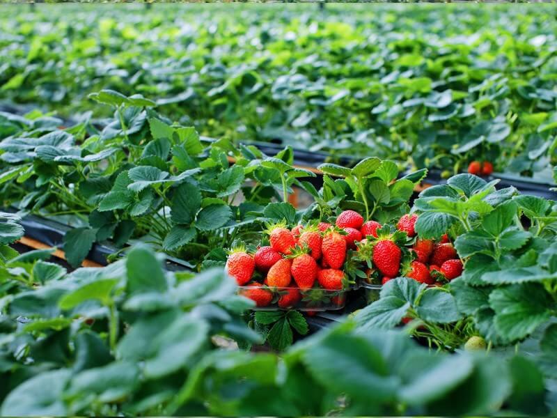 Vào mùa Xuân, khách du lịch Hàn Quốc sẽ được hái những quả dâu tây căng mọng
