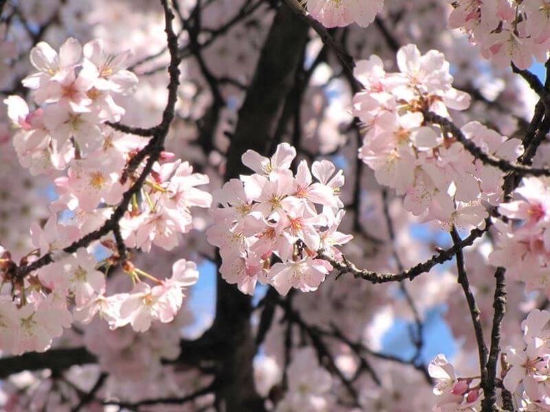 Đến mùa Xuân, khách du lịch Hàn Quốc thường đi vào mùa hoa anh đào nở