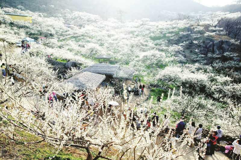 Ngôi làng Gwangyang Maehwa Khiến khách du lịch mê mẩn
