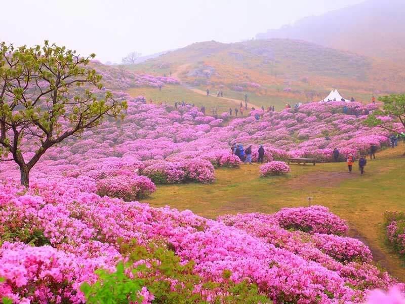 Hoa đỗ quyên ở Hàn Quốc khoe sắc khi tiết trời vào xuân