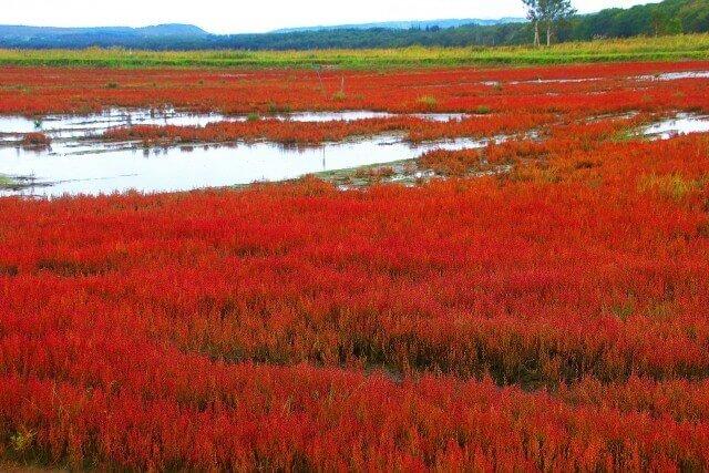 Đồng cỏ san hôNotoro ở Nhật Bảnđồng loạt chuyểnđỏ khi Thu về