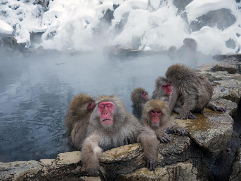 Những chú khỉ đáng yêu tạiCông viênJigoku Dani Nhật Bản