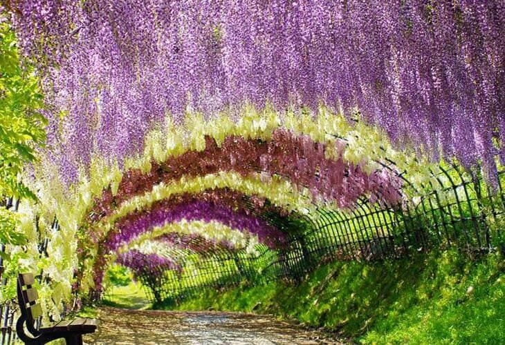 Du lịch Nhật Bản được ngắm hoa tử đằng vàng là một niềm hạnh phúc