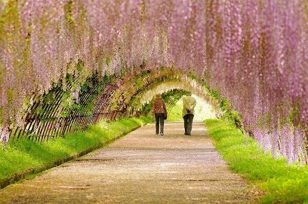 Du lịch Nhật Bản mùa hoa tử đằng, bạn có thể ghé thăm công viên Ashikaga