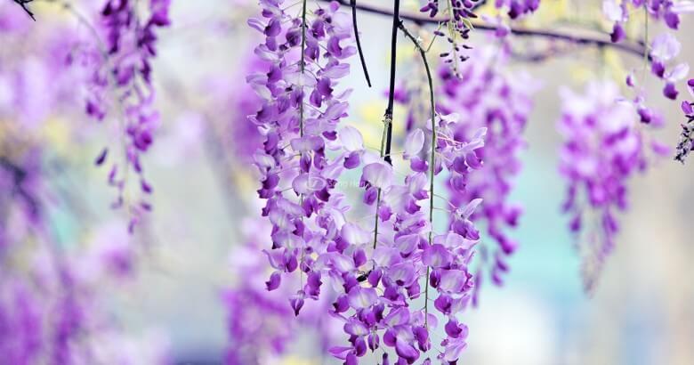 Du lịch Nhật Bản: Chiêm ngưỡng công viên hoa tử đằng nở rộ rực rỡ