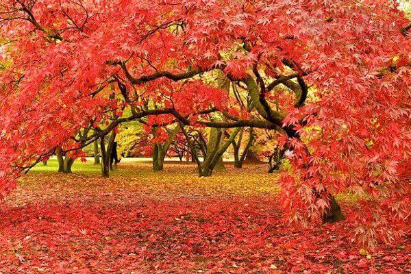 Du lịch Nhật Bản ngắm rừng cây lá đỏ