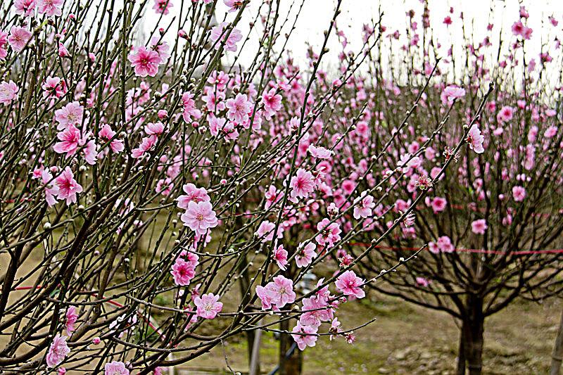 Mùa hoa đào Sapa rực rỡ một bầu trời (Tháng 1,2)