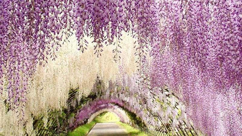 Du lịch Nhật Bản để khám phá công viên hoa tử đằng nở rực rỡ