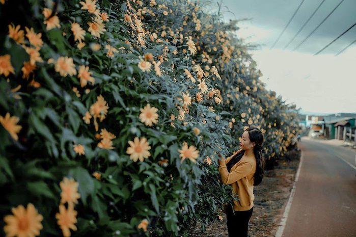 Cung đường lên trường đại học Đà Lạt nở đầy hoa dã quỳ