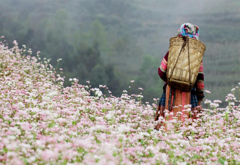 mùa hoa tam giác mạch đông bắc