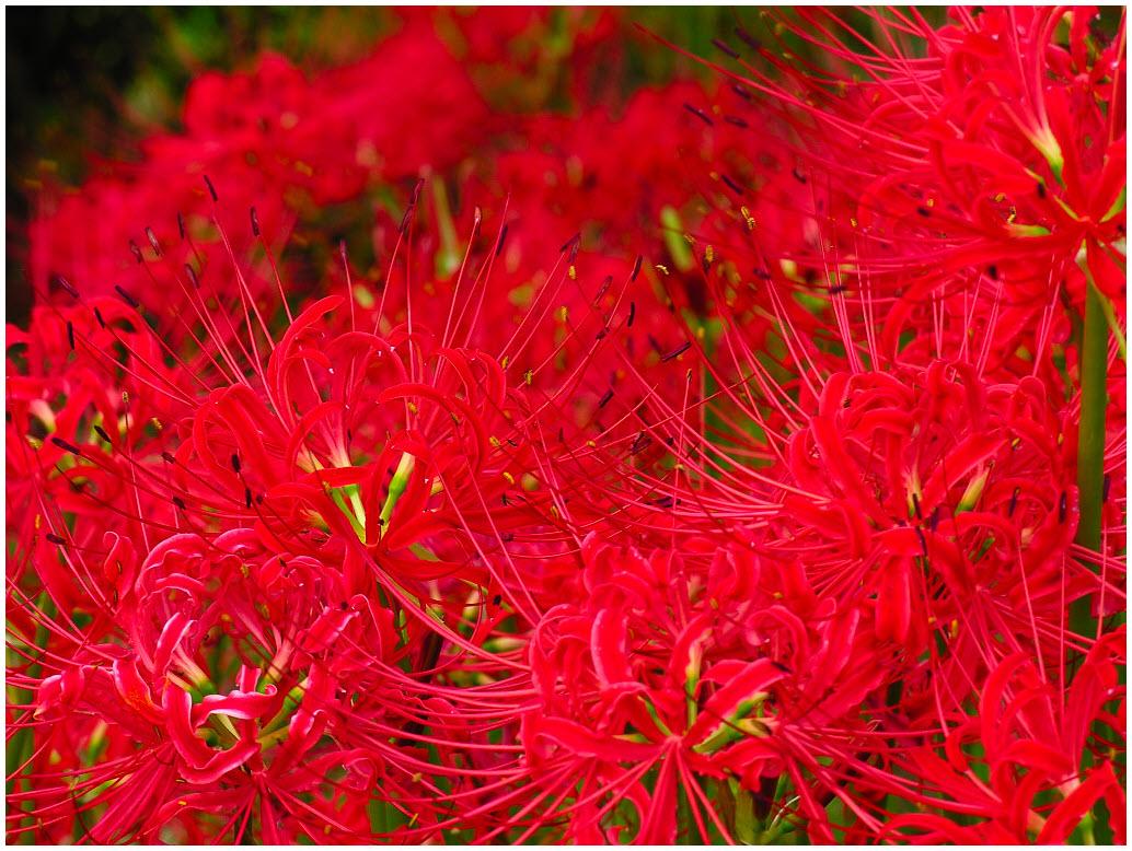 Hoa Bỉ Ngạn Nhật Bản