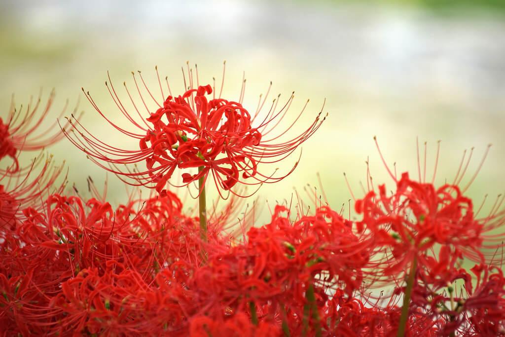 Hoa Bỉ Ngạn loài hoa tâm linh huyền bí
