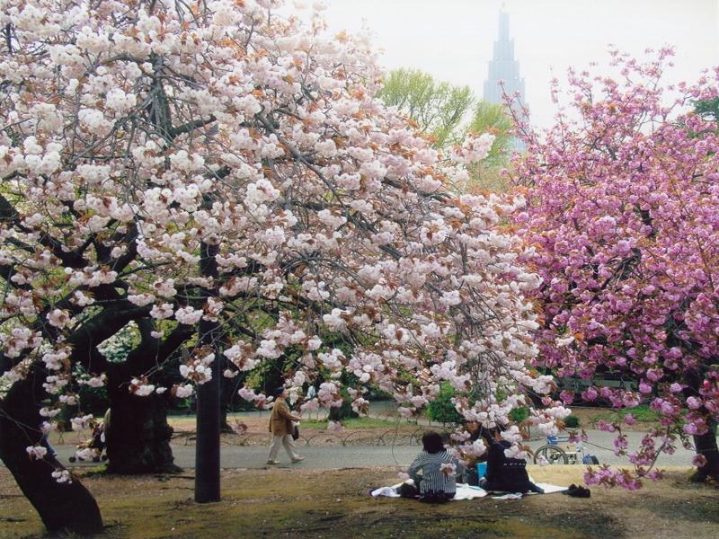 Nước Mỹ mùa Xuân ngập tràn sắc hoa anh đào