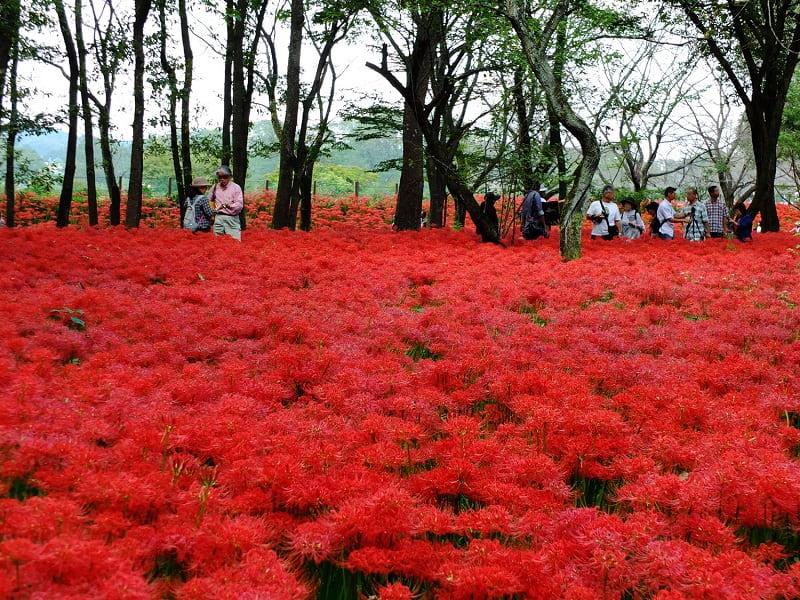 Vi vu Nhật Bản ngắm hoa Bỉ ngạn duy nhất tại Du Lịch Việt
