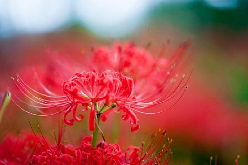 Mùa Thu Nhật Bản rực rỡ sắc hoa Bỉ Ngạn
