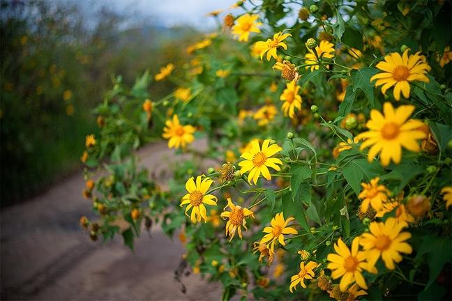 rừng hoa dã quỳ đà lạt