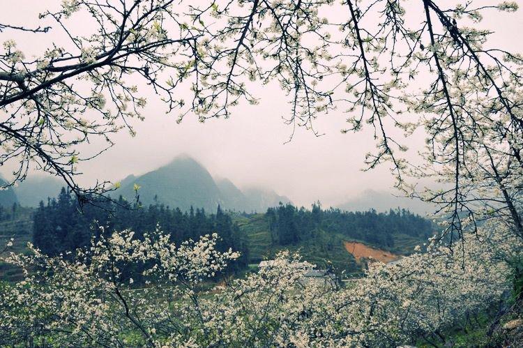 Thời điểm hoa đào, hoa mơ nở rộ rơi vào khoảng đầu xuân