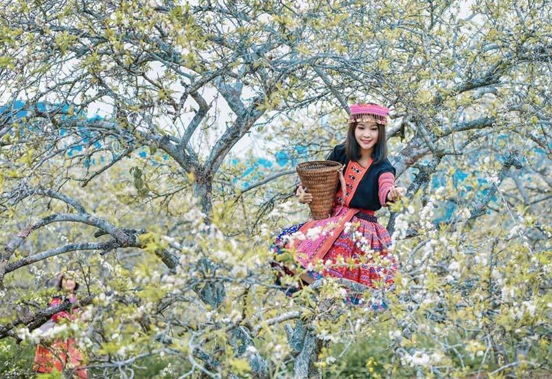 Hoa mận, hoa mơ nở trắng khắp thung lũng Mường Hoa khi mùa xuân về