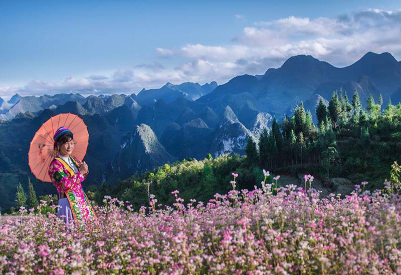 hoa tam giác mạch ở cao nguyên mộc châu