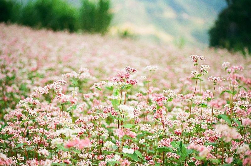 mùa hoa tam giác mạch ở Trà Lĩnh