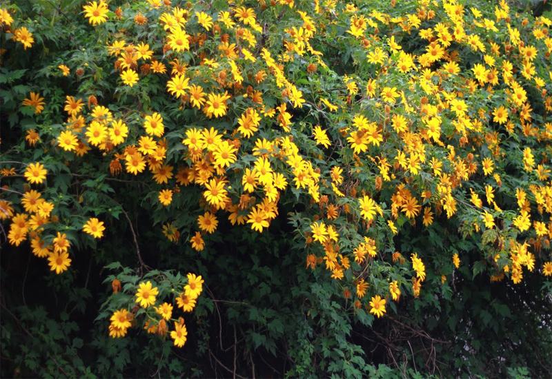 Vẻ đẹp của màu hoa vàng nổi tiếng khắm núi rừng Đà Lạt