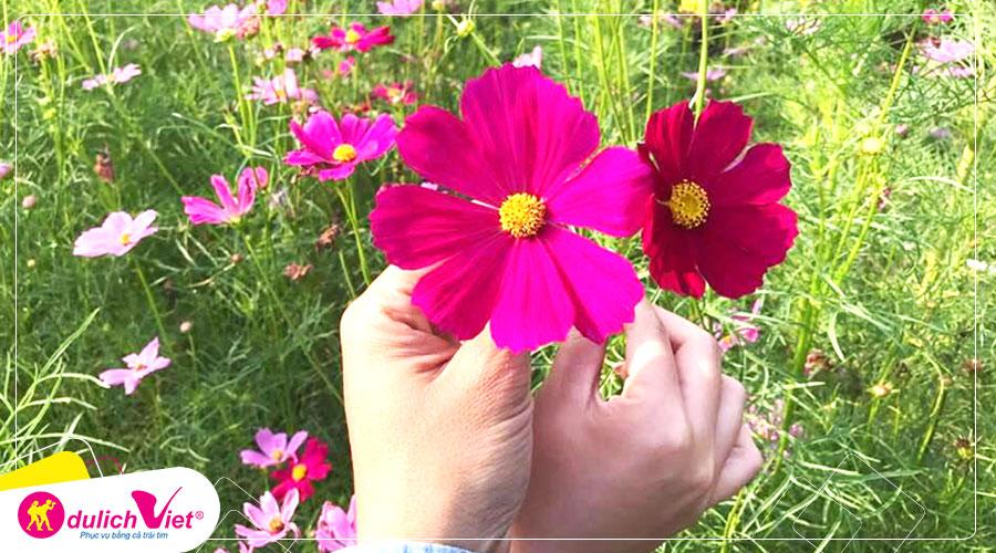 Du lịch Nhật Bản - Tour ngắm cánh đồng hoa Cosmos dưới chân núi Phú Sĩ từ Sài Gòn