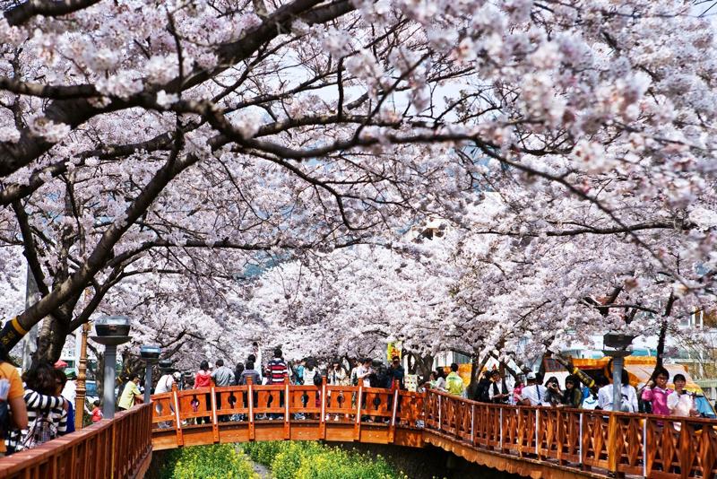 Thưởng ngoạn sắc hoa Anh đào, hoa Tulip ngay tại Hàn Quốc