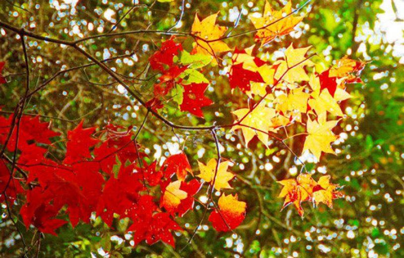 rừng lá phong Đà Lạt