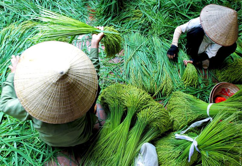 Nghề làm cốm Hà Nội đã có từ lâu đời và trở thành món ăn đặc sản mang thương hiệu Hà Nội