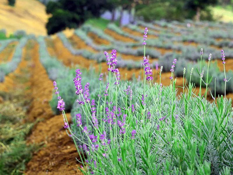 Hoa Lavender - Du Lịch Đà Lạt - Du Lịch Việt